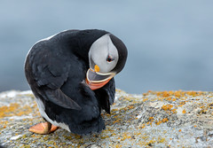 Preening Puffin (NicoleW0000) Tags: atlanticpuffin puffin seabird pelagic bird rock cliff ocean naturephotography wildlife nature