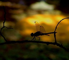 Dragonfly at Dusk (hardmile) Tags: insect insects dragonfly wildlife nature beauty magic outdoors forest water animals
