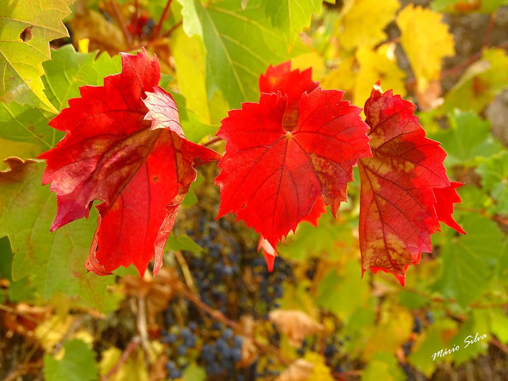 """Águas Frias (Chaves) - ... folhas de """"parreira"""" (videira) - """"Vitis vinifera"""", com as suas cores vivas mas indicando o fim da sua função ..."""