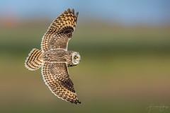 Short-eared owl (Frank Schauf Photography) Tags: animal asioflammeus bird europa europe netherlands niederlande nordholland northholland shortearedowl sumpfohreule tier vogel
