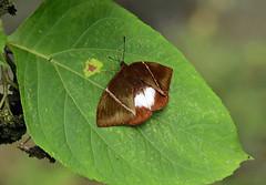 Day-flying moth ---- Castniomera atymnius futilis (creaturesnapper) Tags: panama moths lepidoptera insects castniomeraatymniusfutilis castniidae nationalmothweek