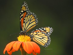 Sharing is Caring (Anton Shomali - Thank you for over 3 million views) Tags: beautiful capture colors beauty photography photo nature yellow red orange monarch butterfly mexican sunflower color colour bright art bold sony slta77v camera sun summer light sunny nikon coolpix p900 monarchbutterflies mexicansunflower