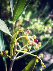 Tiny olives (tanith.watkins) Tags: fruit olives fruitaria smileonsaturday frutaria