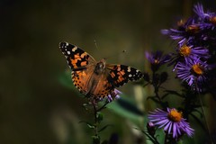 Contrast and Compliment (-CCP-) Tags: blooms flower purple composition lightroom sigma nikon nature wildlife insect butterfly paintedlady