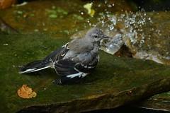 Northern Mockingbird juvenile by Jackie B. Elmore 9-20-2019 Lincoln Co. KY (jackiebelmore) Tags: mimuspolyglottos northernmockingbird mimids juvenile lincolnco kentucky nikon850 tamronsp150600f563 jackiebelmore kos