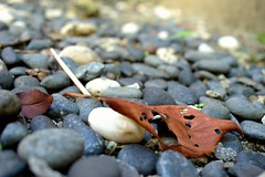 Fallen leaf (Abhay Parvate) Tags: nature macro bokeh fallenleaf leaf fallen