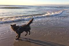 Totoro en de zee (Jos Mecklenfeld) Tags: strand beach zee sea herdershond herder shepherd shepherddog hond dog hollandseherder dutchshepherd totoro