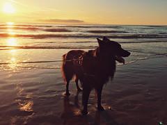 Totoro en de zee (Jos Mecklenfeld) Tags: niederlande netherlands noordholland callantsoog strand beach zee meer sea hond hund dog herder herdershond shepherd shepherddog hollandseherder dutchshepherd totoro