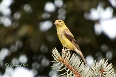 Goldfinch Up In The Blue Spruce (Jeannot7) Tags: americangoldfinch spinustristis echinacea purpleconeflower backyard bird birdwatcher ontario