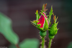 Fall Rose (jtrainphoto) Tags: garden summer macro nature ef100mm canon rose flickr red