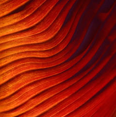 Red Leaf Abstract (Robin Wechsler) Tags: abstract nature leaf patterns lines textures