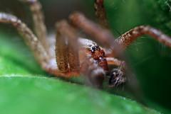 Sad Woolf Spider (Serkiz Oleg) Tags: wolf spider macro olegserkiz fangs pedipalps