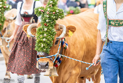 The Cows Come Home (brookis-photography) Tags: cow headgear bavarian