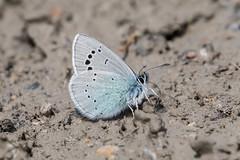 Glaucopsyche alexis (fabriciodo2) Tags: glaucopsychealexis papillon macro nature