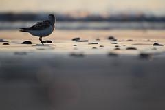 Bécasseau sanderling - Calidris alba (Sven Normant) Tags: bécasseau bird oiseau bretagne littoral mer sunshine plage summer