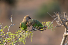Brown-headed Parrot (leendert3) Tags: leonmolenaar southafrica krugernationalpark naturereserve nature wildlife wilderness wildanimal birds brownheadedparrot coth5 specanimal ngc npc
