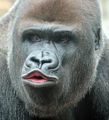 western lowlandgorilla Nasibu Blijdorp 094A1103 (j.a.kok) Tags: animal africa afrika aap ape mammal monkey mensaap zoogdier dier nasibu gorilla westelijkelaaglandgorilla westernlowlandgorilla lowlandgorilla laaglandgorilla primate primaat silverback zilverrug blijdorp
