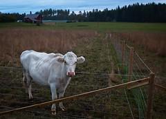 Beef (felix200SX) Tags: savijoki finland outside 2019 september canon 70d cow field fence animal livestock hutko tags