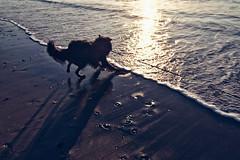 Totoro en de zee (Jos Mecklenfeld) Tags: noordzee nordsee northsea niederlande noordhollandnetherlands callantsoog beach strand zee meer sea hond hund dog herdershond herder shepherddog shepherd hollandseherder dutchshepherd totoro