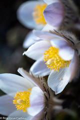 Mogop (RineGC) Tags: dovre embryophyta karplanter magnoliidae plantae pulsatillavernalis ranunculaceae soleiefamilien spermatophyta tracheobionta tracheophyta arcticviolet blomsterplanter frøplanter ladyofthesnows landplanter mogop planter plants springpasqueflower