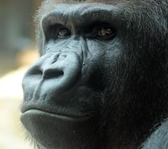 western lowlandgorilla Nasibu Blijdorp 094A1118 (j.a.kok) Tags: animal africa afrika aap ape mammal monkey mensaap zoogdier dier nasibu gorilla westelijkelaaglandgorilla westernlowlandgorilla lowlandgorilla laaglandgorilla primate primaat silverback zilverrug blijdorp