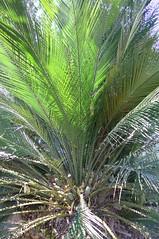 Macrozamia communis (tanetahi) Tags: macrozamiacommunis australian native cycad mtcootthabotanicgardens brisbanebotanicgardens