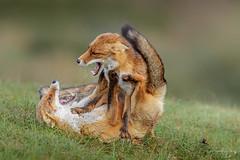 Red foxes (Frank Schauf Photography) Tags: animal europa europe mammal netherlands niederlande nordholland northholland redfox rotfuchs säugetier tier vulpesvulpes
