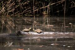 Tortues de Floride en tête à tête (Jeff-Photo) Tags: faune pleinair animal canon mamifère nature reptile tortuedefloride