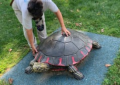 """giant"" Painted Turtle (Stylurus) Tags: michigan ann arbor gallup park julie turtle statue painted"