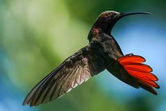 Black Throated Mango Hummingbird (Bernie Duhamel) Tags: blackthroatedmangohummingbird jamaica negril negrilriver 7milebeach bird tropical flight flying hummingbird wildlife sonya9 sonyfe100400mm bernie duhamel teamsony greatphotographers