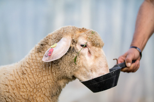 Close-up portrait of a young ram being fed