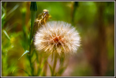 Pure Loveliness (Bombatron) Tags: dandelion wilderness new mexico nature its best beauty peace calm serene green yellow sunny day sigma 50mm 14 canon 6d