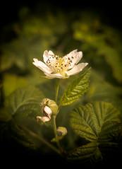 4_1 (KRR_3) Tags: huawei p30pro flowers dof bokeh