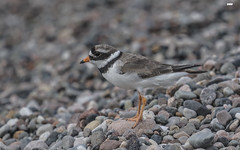 (davidrhall1234) Tags: ringedplovercharadriushiaticula plover ringedplover ardmucknishbay argyll scotland birdsofbritain bird beak coastal coast feather nature nikon outdoors shoreline shore sea springwatch bbcspringwatch wildlife world