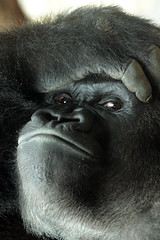 western lowlandgorilla Nasibu Blijdorp 094A1037 (j.a.kok) Tags: animal africa afrika aap ape mammal monkey mensaap zoogdier dier nasibu gorilla westelijkelaaglandgorilla westernlowlandgorilla lowlandgorilla laaglandgorilla primate primaat silverback zilverrug blijdorp