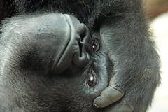 western lowlandgorilla Nasibu Blijdorp 094A1035 (j.a.kok) Tags: animal africa afrika aap ape mammal monkey mensaap zoogdier dier nasibu gorilla westelijkelaaglandgorilla westernlowlandgorilla lowlandgorilla laaglandgorilla primate primaat silverback zilverrug blijdorp