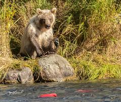 """I may be little,"" said baby bear.  ""But I'm not stupid!"" (♞Jenny♞) Tags: grizzlycub jennygrimm battleriveralaska2018 alaska bear cub salmon river"