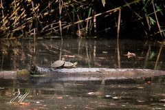 Tortues de Floride (Jeff-Photo) Tags: faune pleinair animal canon mamifère nature reptile tortuedefloride