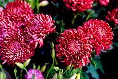 Chrysanthemum Garnet King (Fnikos) Tags: flower flowers flor flores fiore fiori red pink granate green verde leaf leaves nature naturaleza natura color colour colores colours colors dark light shadow shadows dof depth depthoffield outside outdoor
