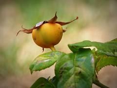 il frutto della rosa (fotomie2009) Tags: rose rosa berry fruit hip bacca 30 flora