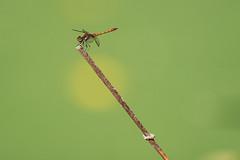 DSC09643 (itsExit) Tags: sony a7iii alpha nature insect dragonfly fe200–600mmf56–63goss fe fullframe kerkrade netherlands handheld a7 200600 libelle
