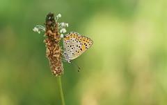 (passionpapillon) Tags: macro insecte papillon butterfly bokeh color passionpapillon 2019 ngc npc