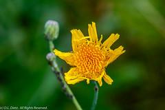 Yellow Wildflower - 2019-08-17 (DL_Dietz) Tags: canoneos6d flower kensingtonmetropark livingstoncounty macro michigan nature naturephotography northamerica summer unitedstates wildflower yellow