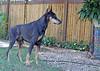 Wolfgang - Almost 12 (siriusmosaics) Tags: wolfgang doberman deafdog deafdoberman 12yearsold seniordoberman