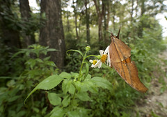 Ruddy Daggerwing wide 4 (brian.magnier) Tags: loop road everglades big cypress florida south tropical wildlife nature animals outdoors ecology environment