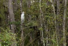 Great Egret Big Cypress (brian.magnier) Tags: loop road everglades big cypress florida south tropical wildlife nature animals outdoors ecology environment