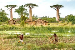 Les hommes et la nature .... (Fabrice L.) Tags: baobabs mada2017 morondave madagascar morondava working homme nature travail champs arbres trees natural tranquility calme calm