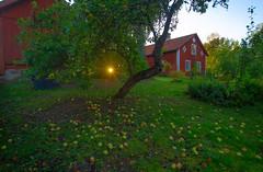 Apples (RdeUppsala) Tags: atardecer naturaleza nature natur sverige suecia sweden sunset kväll ekebyby uppland uppsala jardín garden trädgård appletree manzano äppelträd ricardofeinstein höst autumn otoño paisaje landscape landskap