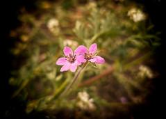 3_1 (KRR_3) Tags: huawei p30pro flowers dof bokeh