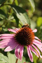 Be(e) Happy (gripspix) Tags: 20190810 nature natur flower blume haponar475 tslens handmade handgemacht adapted adaptiert echinaceapurpurea purpleconeflower purpursonnenhut be bee biene